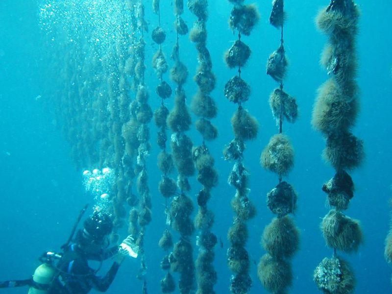 récolte perliculture perles de tahiti